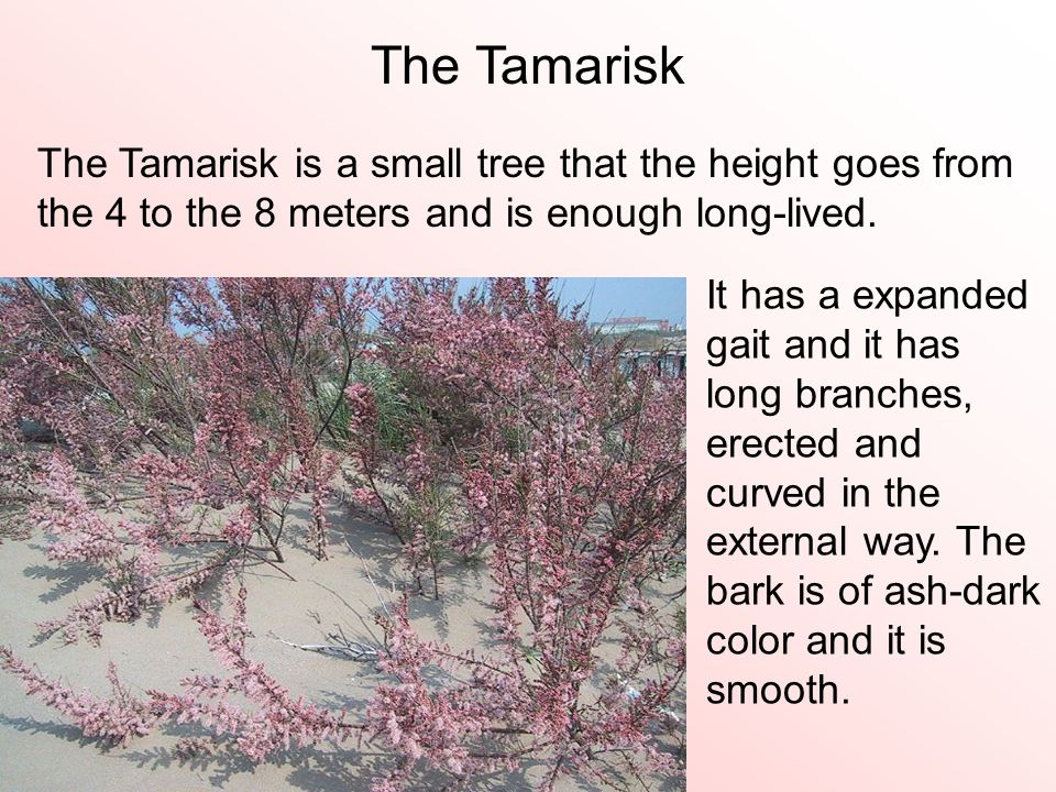 The Tamarisk is a small tree that the height goes from the 4 to the 8 meters and is enough long-lived. The Tamarisk It has a expanded gait and it has