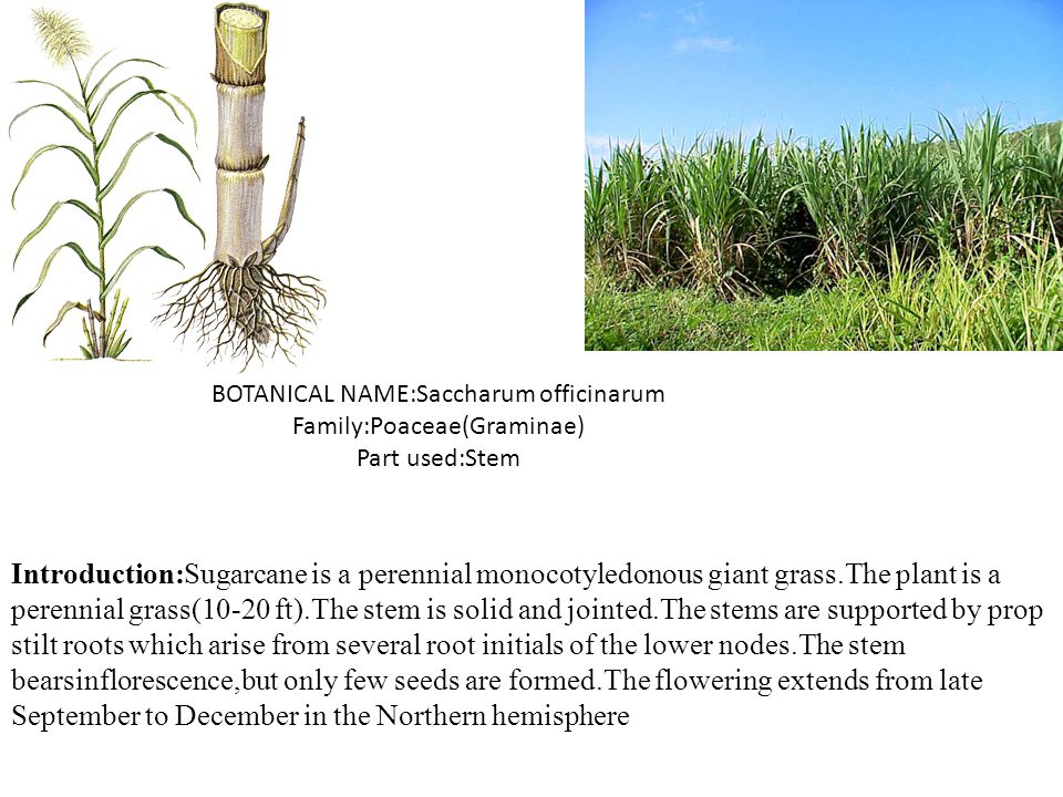 BOTANICAL NAME:Saccharum officinarum Family:Poaceae(Graminae) Part used:Stem Introduction:Sugarcane is a perennial monocotyledonous giant grass.The pl