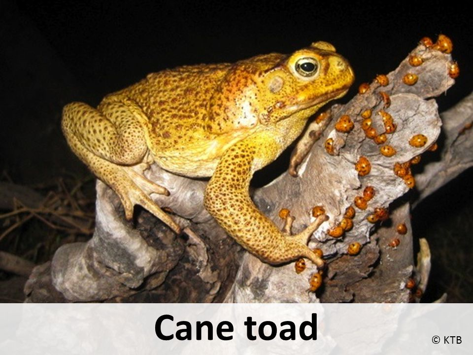 Cane toads 1 Cane toad features Adapted from a presentation supplied by Kimberley Toadbusters
