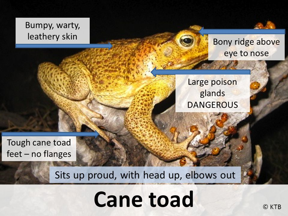 Cane toad Tough cane toad feet – no flanges Bony ridge above eye to nose Large poison glands DANGEROUS Bumpy, warty, leathery skin © KTB