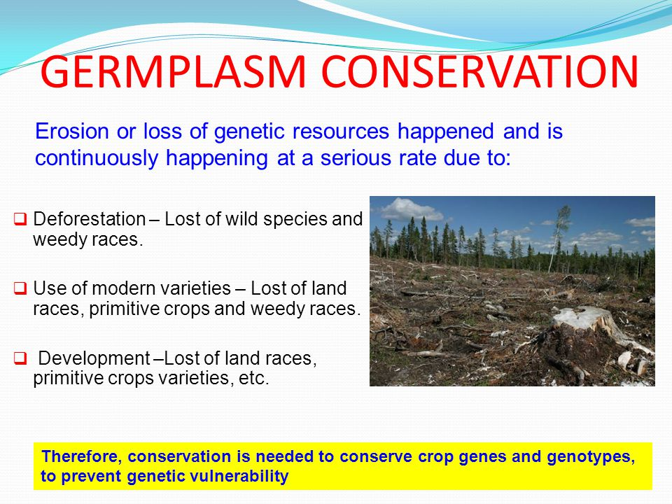 GERMPLASM CONSERVATION  Deforestation – Lost of wild species and weedy races.