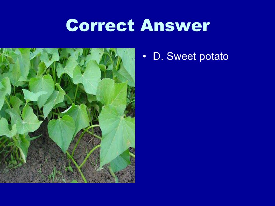 Correct Answer D. Sweet potato