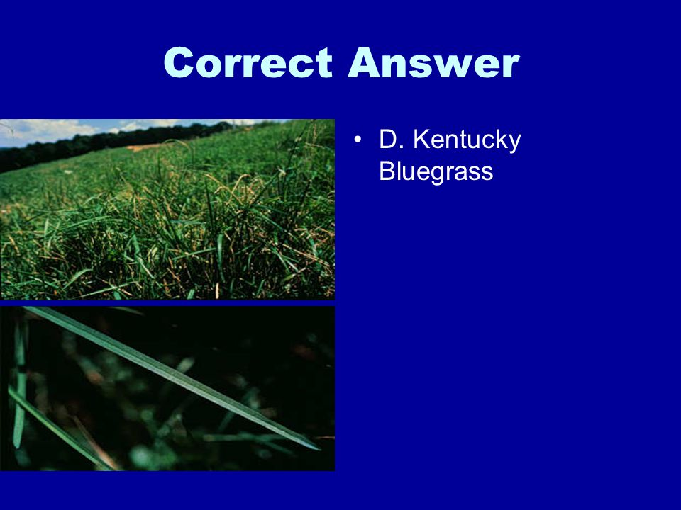 Correct Answer D. Kentucky Bluegrass