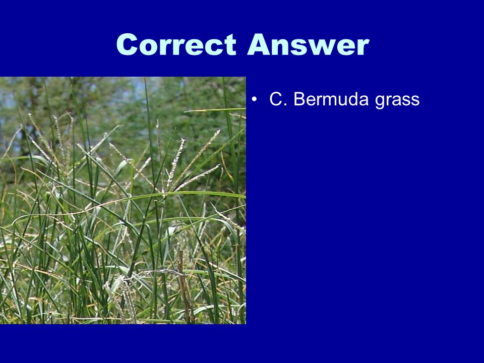 Correct Answer C. Bermuda grass