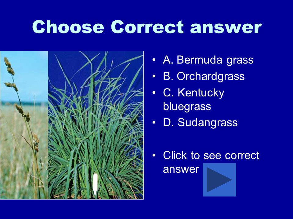 Choose Correct answer A.Bermuda grass B. Orchardgrass C.