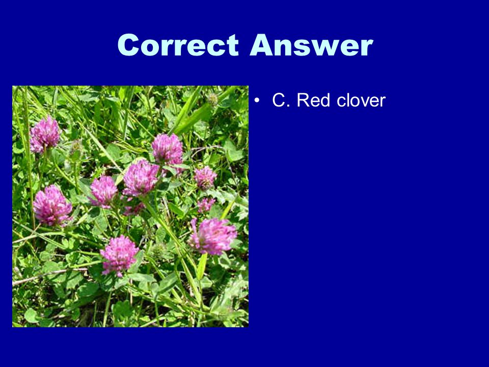 Correct Answer C. Red clover