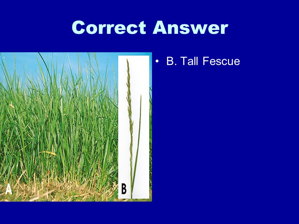 Correct Answer B. Tall Fescue