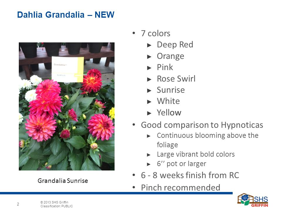 © 2013 SHS Griffin Classification: PUBLIC 2 Dahlia Grandalia – NEW 7 colors ► Deep Red ► Orange ► Pink ► Rose Swirl ► Sunrise ► White ► Yellow Good comparison to Hypnoticas ► Continuous blooming above the foliage ► Large vibrant bold colors ► 6'' pot or larger 6 - 8 weeks finish from RC Pinch recommended Grandalia Sunrise