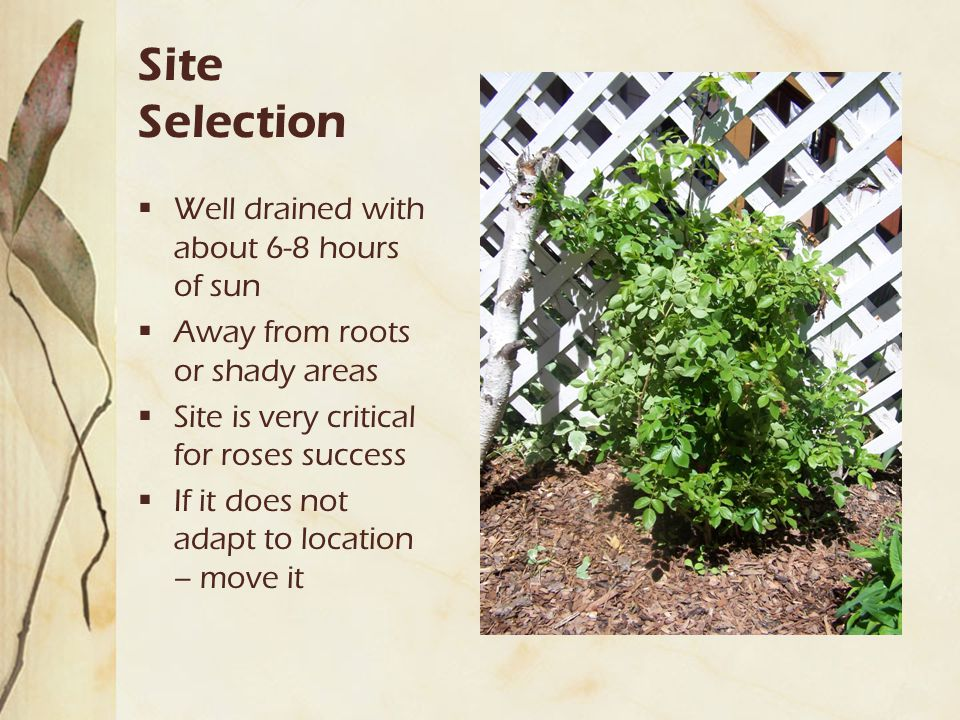 Site Selection  Well drained with about 6-8 hours of sun  Away from roots or shady areas  Site is very critical for roses success  If it does not