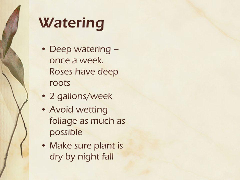 Watering Deep watering – once a week.