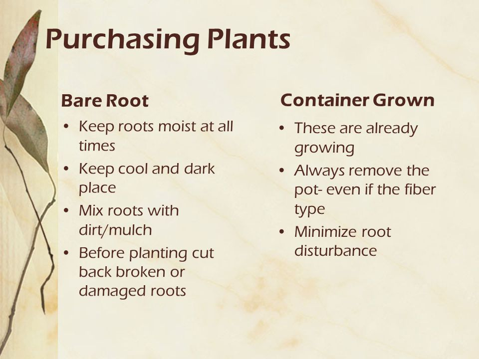 Purchasing Plants Bare Root Keep roots moist at all times Keep cool and dark place Mix roots with dirt/mulch Before planting cut back broken or damaged roots Container Grown These are already growing Always remove the pot- even if the fiber type Minimize root disturbance