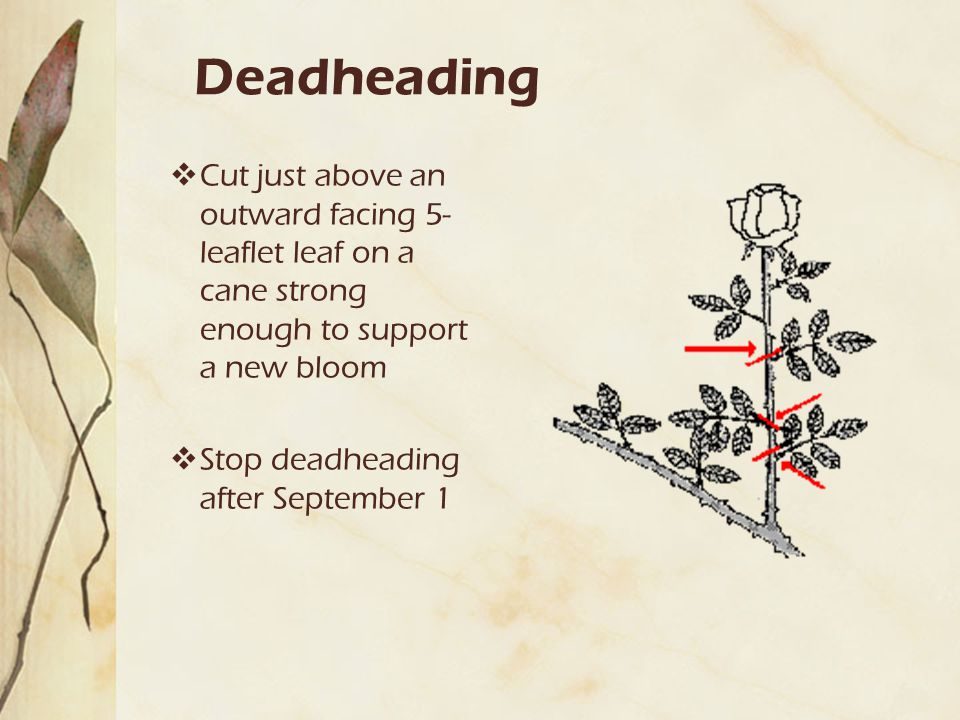 Deadheading  Cut just above an outward facing 5- leaflet leaf on a cane strong enough to support a new bloom  Stop deadheading after September 1