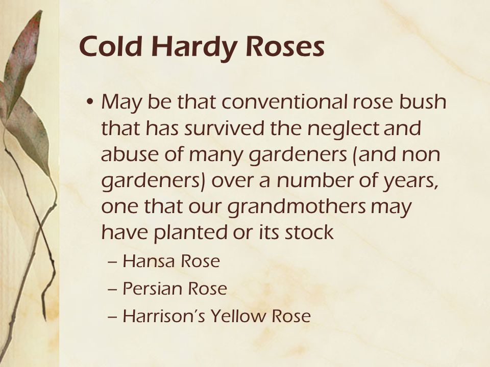 Cold Hardy Roses May be that conventional rose bush that has survived the neglect and abuse of many gardeners (and non gardeners) over a number of yea