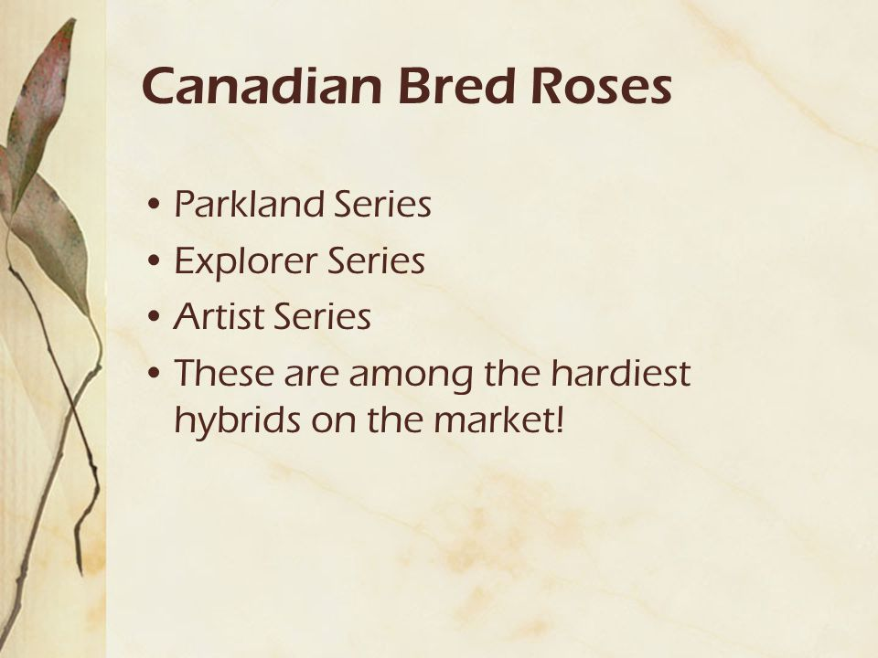 Canadian Bred Roses Parkland Series Explorer Series Artist Series These are among the hardiest hybrids on the market!