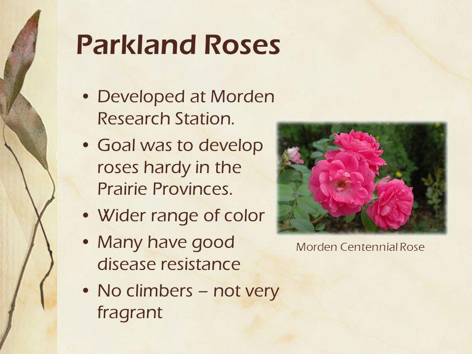Parkland Roses Developed at Morden Research Station.