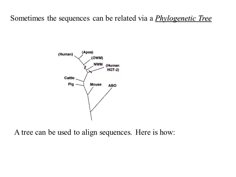 Phylogenetic Tree Sometimes the sequences can be related via a Phylogenetic Tree A tree can be used to align sequences.