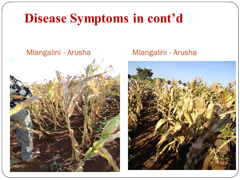Disease Symptoms in cont'd Mlangalini - Arusha