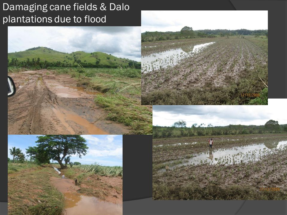 Damaging cane fields & Dalo plantations due to flood