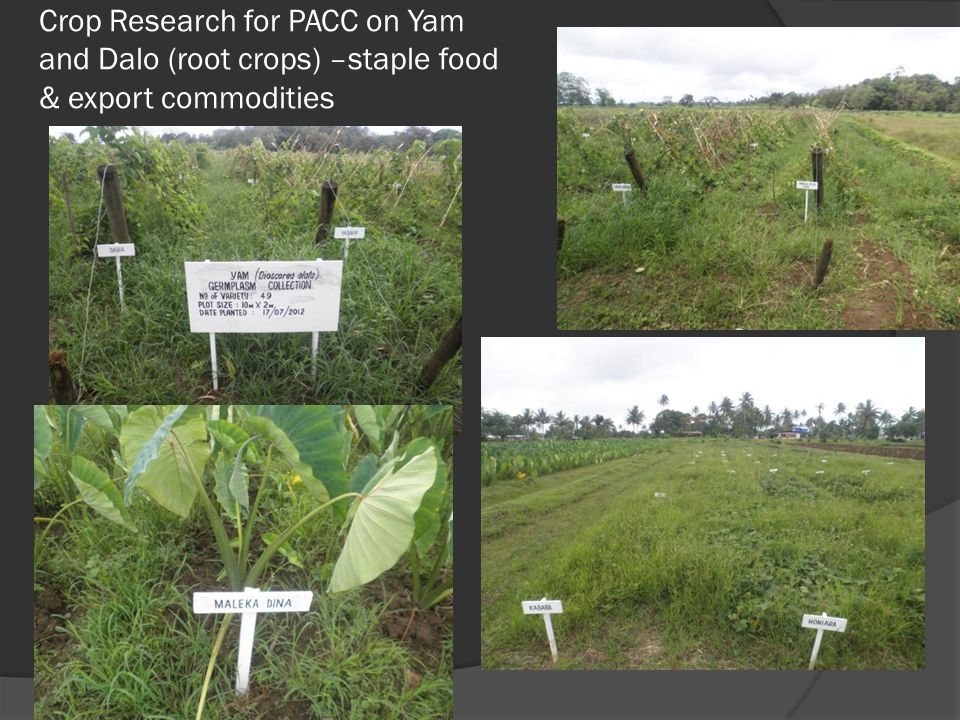 Crop Research for PACC on Yam and Dalo (root crops) –staple food & export commodities