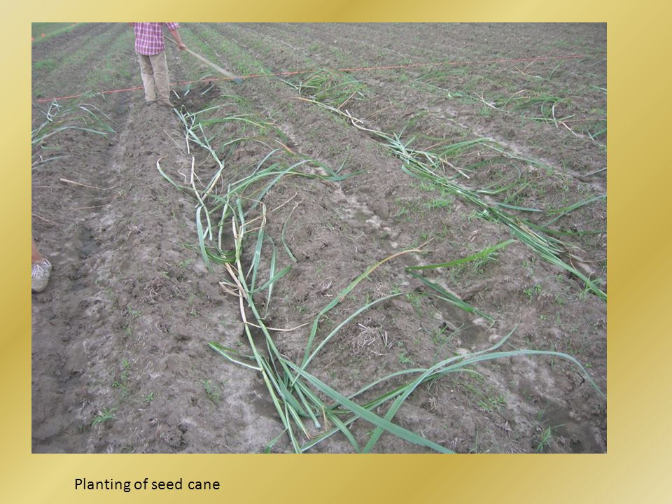 Planting of seed cane