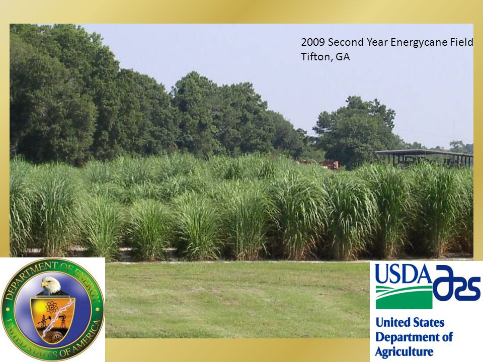 2009 Second Year Energycane Field Tifton, GA