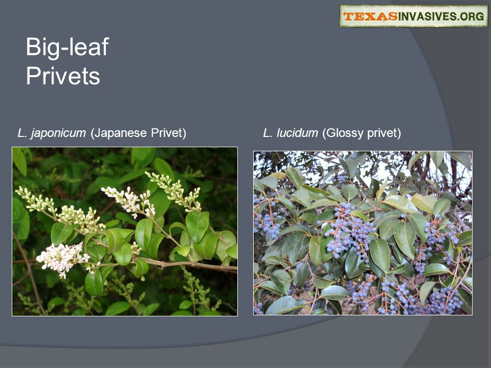 Big-leaf Privets L. japonicum (Japanese Privet)L. lucidum (Glossy privet)