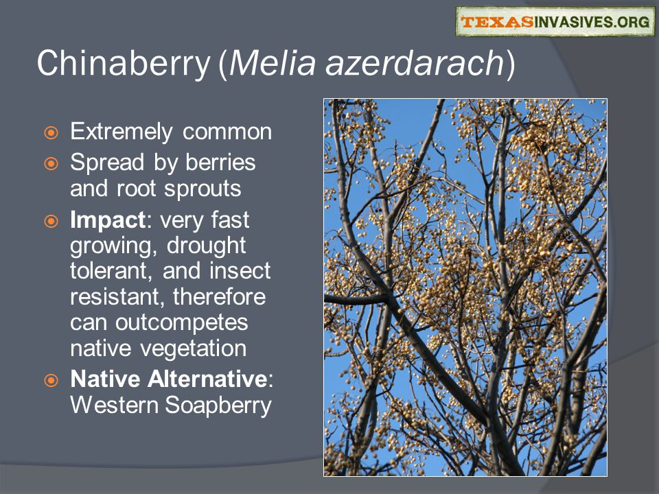 Chinaberry (Melia azerdarach)  Extremely common  Spread by berries and root sprouts  Impact: very fast growing, drought tolerant, and insect resistant, therefore can outcompetes native vegetation  Native Alternative: Western Soapberry
