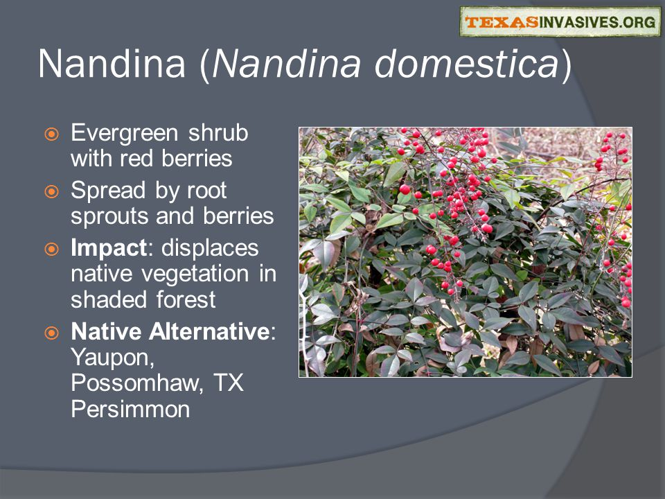 Nandina (Nandina domestica)  Evergreen shrub with red berries  Spread by root sprouts and berries  Impact: displaces native vegetation in shaded forest  Native Alternative: Yaupon, Possomhaw, TX Persimmon