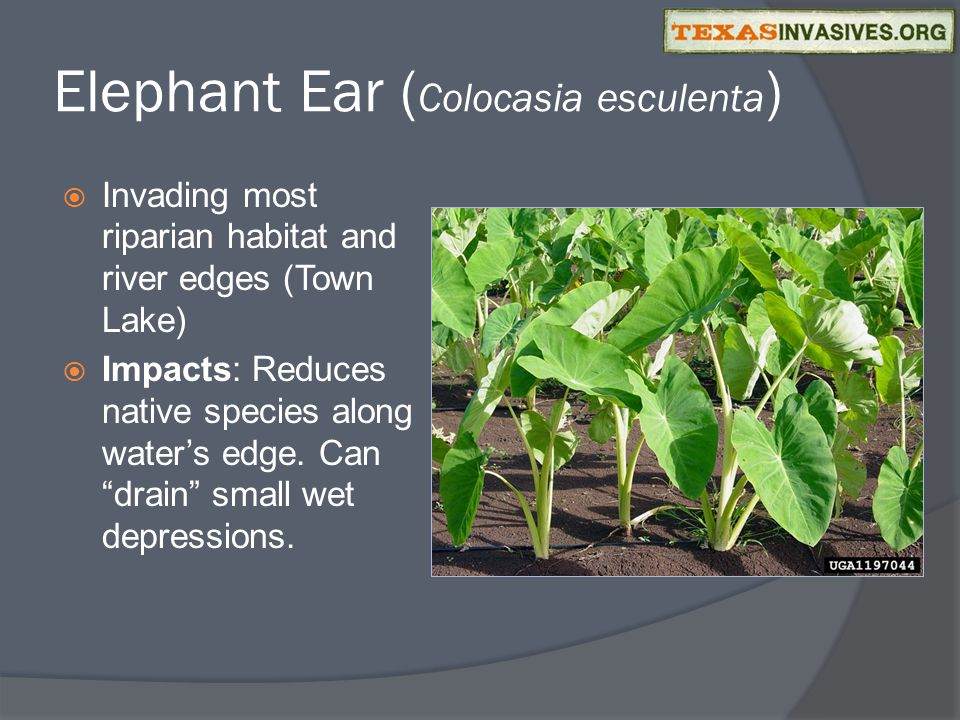 Elephant Ear ( Colocasia esculenta )  Invading most riparian habitat and river edges (Town Lake)  Impacts: Reduces native species along water's edge.