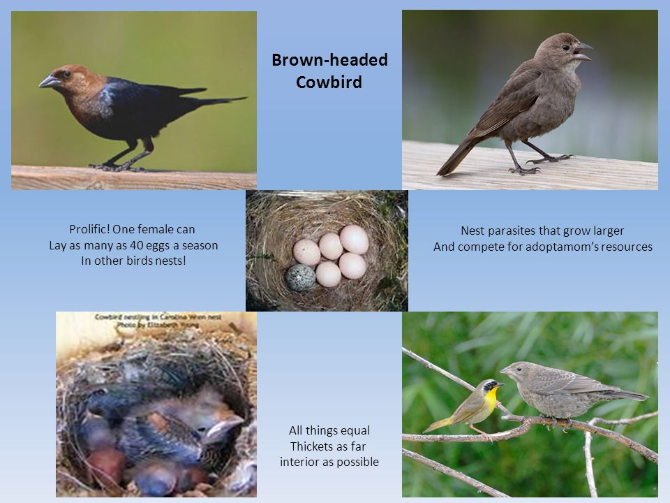 Brown-headed Cowbird All things equal Thickets as far interior as possible Prolific.
