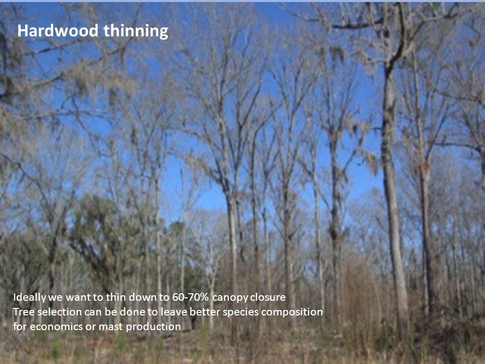 Hardwood thinning Ideally we want to thin down to 60-70% canopy closure Tree selection can be done to leave better species composition for economics or mast production