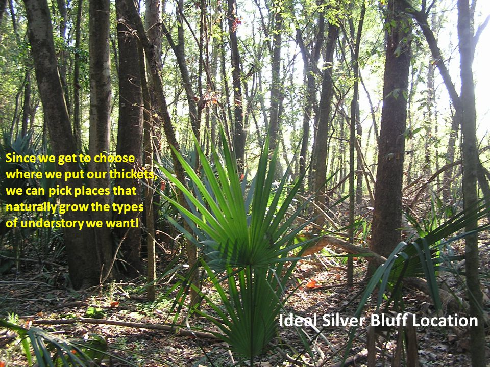 Ideal Silver Bluff Location Since we get to choose where we put our thickets, we can pick places that naturally grow the types of understory we want!