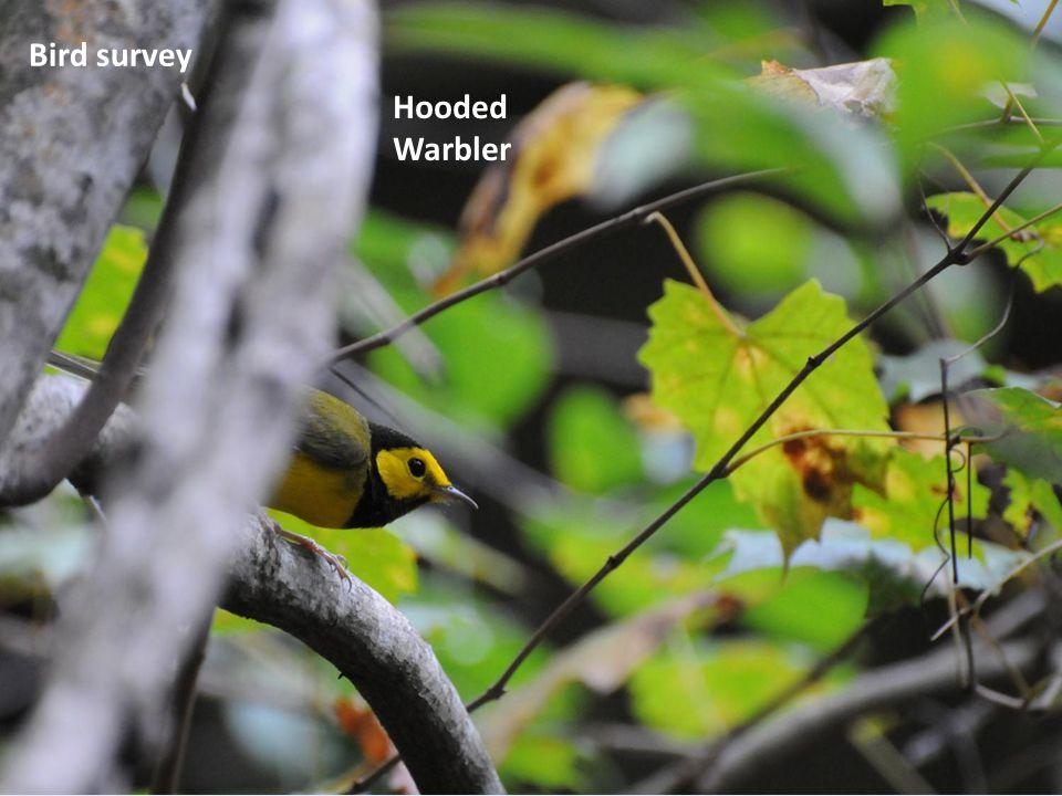 Hooded Warbler Bird survey