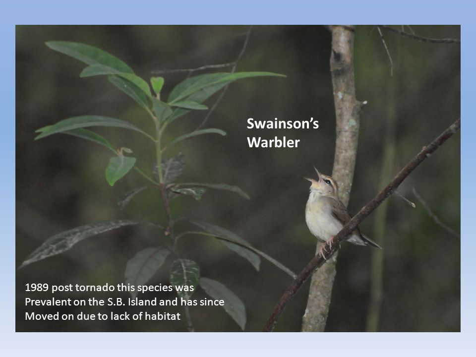 Swainson's Warbler 1989 post tornado this species was Prevalent on the S.B. Island and has since Moved on due to lack of habitat