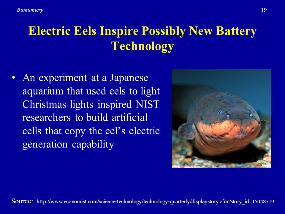 19Biomimicry Electric Eels Inspire Possibly New Battery Technology An experiment at a Japanese aquarium that used eels to light Christmas lights inspired NIST researchers to build artificial cells that copy the eel's electric generation capability Source: http://www.economist.com/science-technology/technology-quarterly/displaystory.cfm story_id=15048719