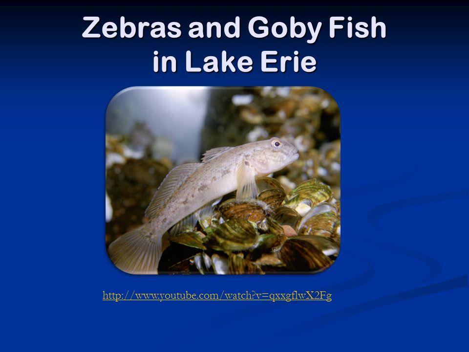 Zebras and Goby Fish in Lake Erie http://www.youtube.com/watch?v=qxxgflwX2Fg
