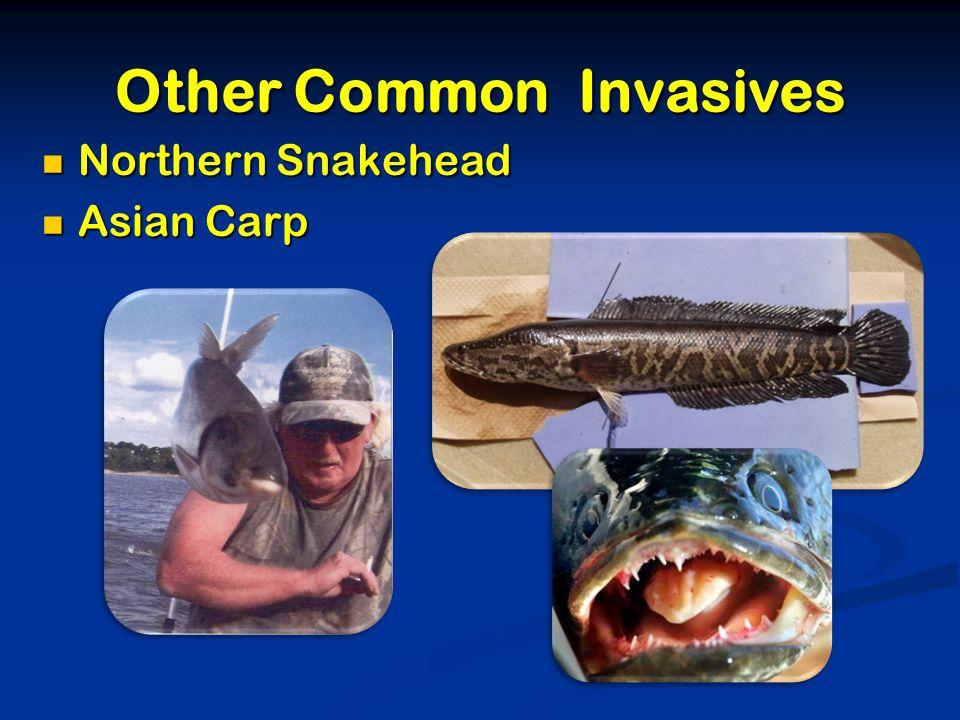 Other Common Invasives Northern Snakehead Northern Snakehead Asian Carp Asian Carp