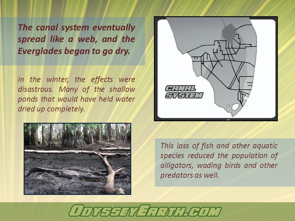 The canal system eventually spread like a web, and the Everglades began to go dry. In the winter, the effects were disastrous. Many of the shallow pon