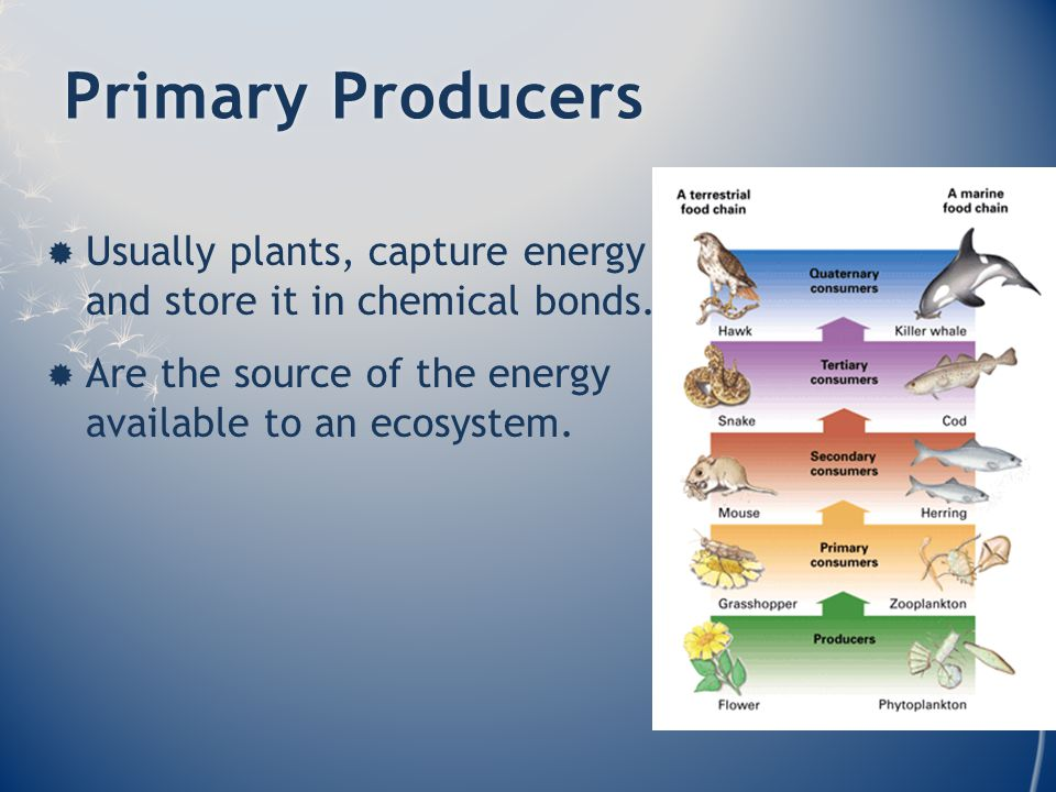 Primary ProducersPrimary Producers  Usually plants, capture energy and store it in chemical bonds.