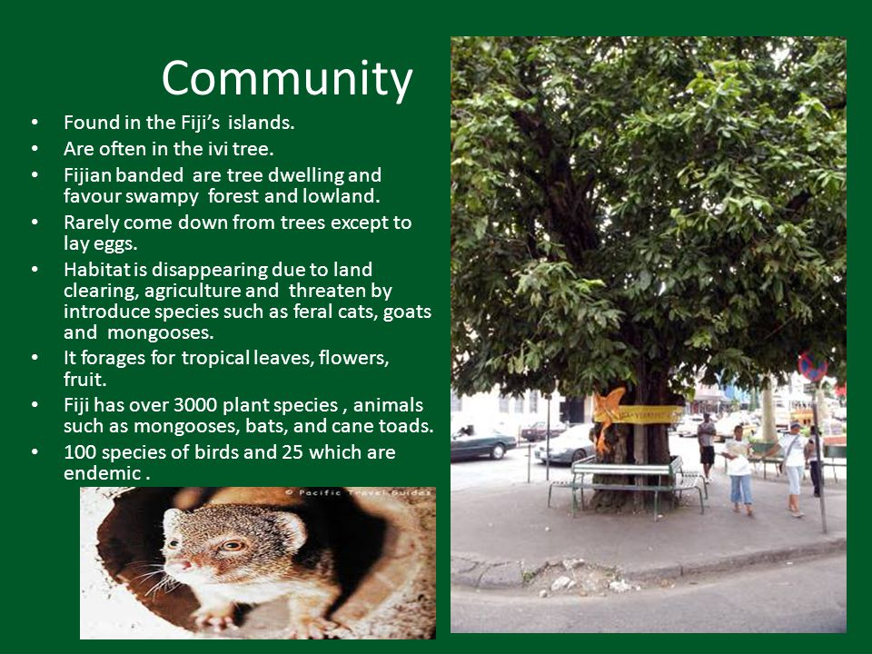 Community Found in the Fiji's islands. Are often in the ivi tree.