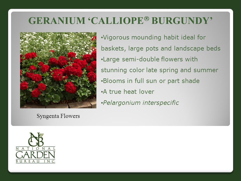 GERANIUM 'CALLIOPE  BURGUNDY' Syngenta Flowers Vigorous mounding habit ideal for baskets, large pots and landscape beds Large semi-double flowers with stunning color late spring and summer Blooms in full sun or part shade A true heat lover Pelargonium interspecific