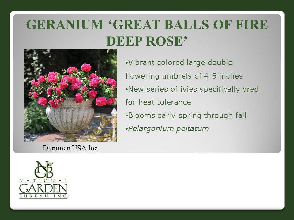 GERANIUM 'GREAT BALLS OF FIRE DEEP ROSE' Dummen USA Inc.