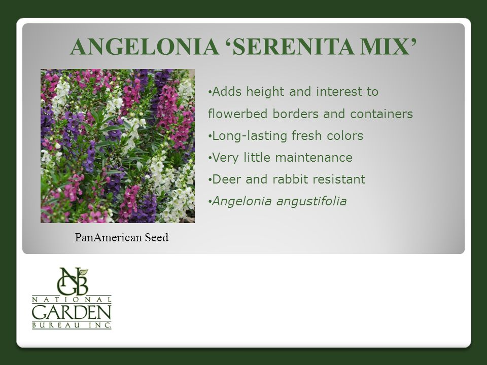 ANGELONIA 'SERENITA MIX' PanAmerican Seed Adds height and interest to flowerbed borders and containers Long-lasting fresh colors Very little maintenance Deer and rabbit resistant Angelonia angustifolia