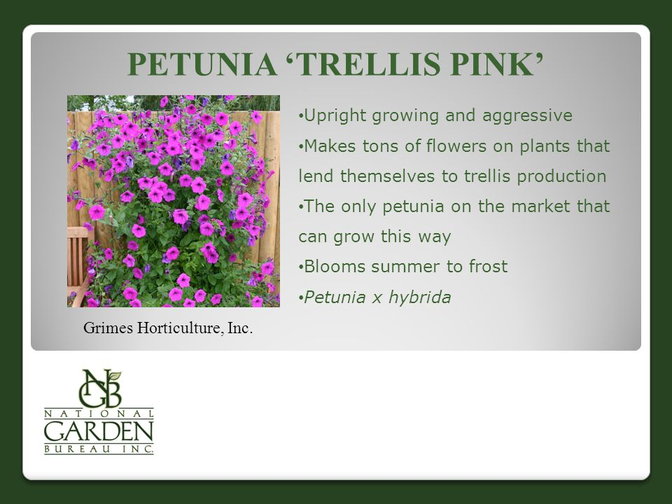 PETUNIA 'TRELLIS PINK' Grimes Horticulture, Inc. Upright growing and aggressive Makes tons of flowers on plants that lend themselves to trellis produc