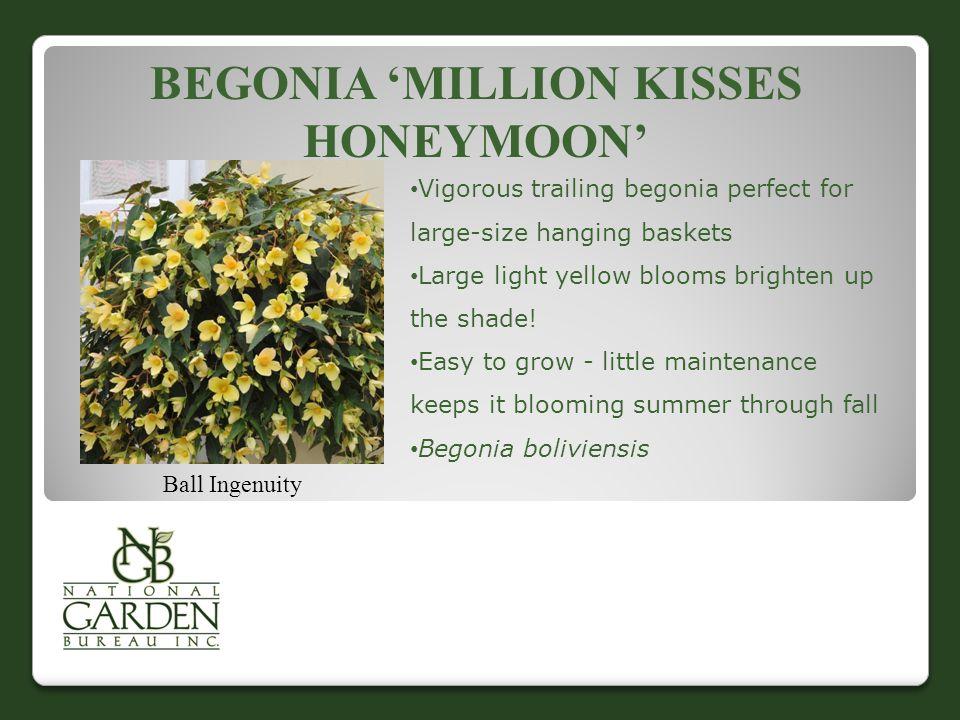 BEGONIA 'SANTA CRUZ  SUNSET' Ernst Benary Seed Growers, Ltd.