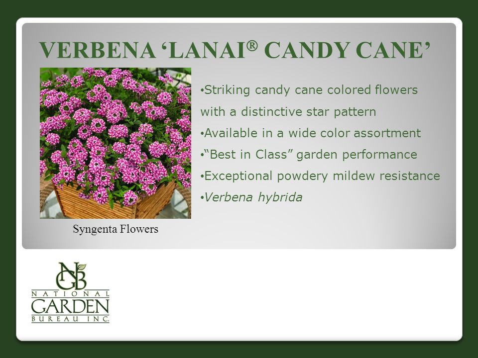 VERBENA 'LANAI  CANDY CANE' Syngenta Flowers Striking candy cane colored flowers with a distinctive star pattern Available in a wide color assortment Best in Class garden performance Exceptional powdery mildew resistance Verbena hybrida