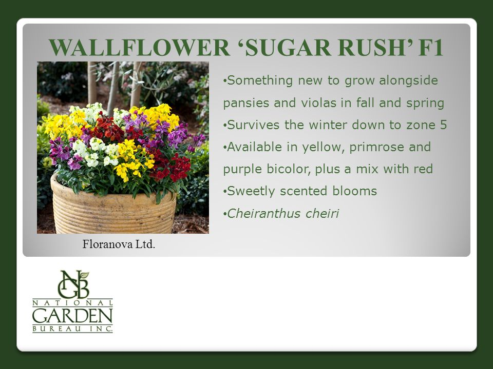 WALLFLOWER 'SUGAR RUSH' F1 Floranova Ltd.