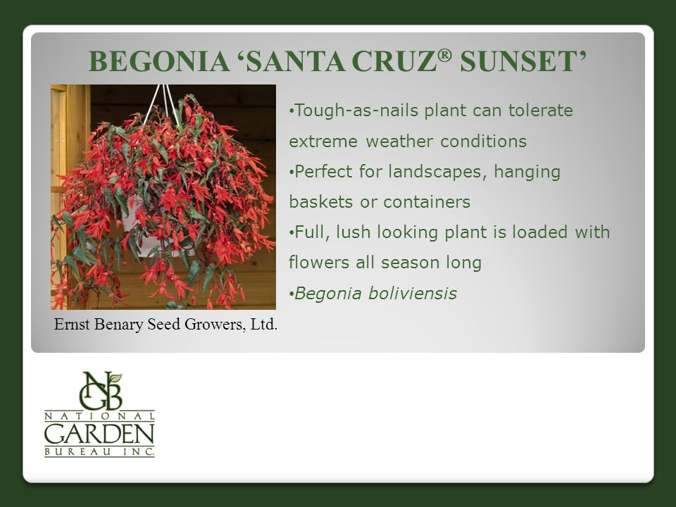 BEGONIA 'SANTA CRUZ  SUNSET' Ernst Benary Seed Growers, Ltd.