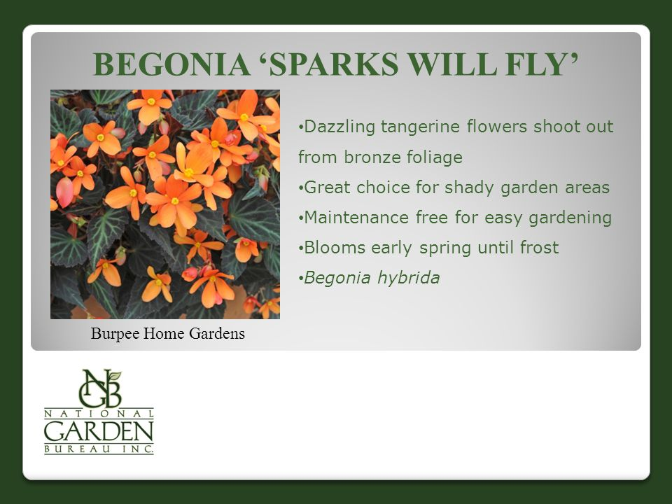 BEGONIA 'SPARKS WILL FLY' Burpee Home Gardens Dazzling tangerine flowers shoot out from bronze foliage Great choice for shady garden areas Maintenance free for easy gardening Blooms early spring until frost Begonia hybrida