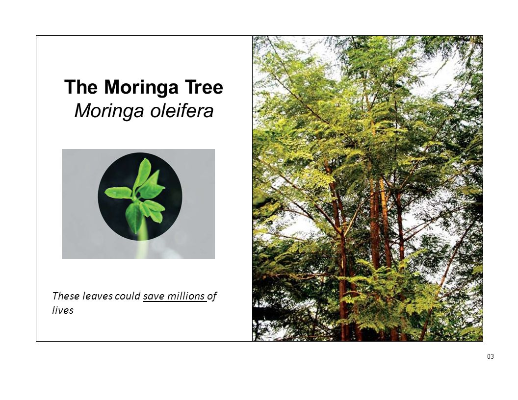 The Moringa Tree Moringa oleifera 03 These leaves could save millions of lives